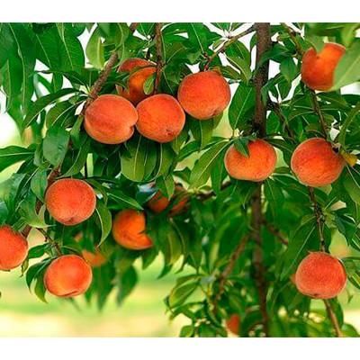 Колоновидный персик Тотем садовода