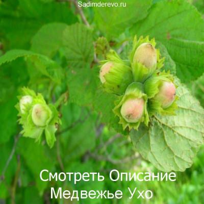 Фундук Медвежье Ухо