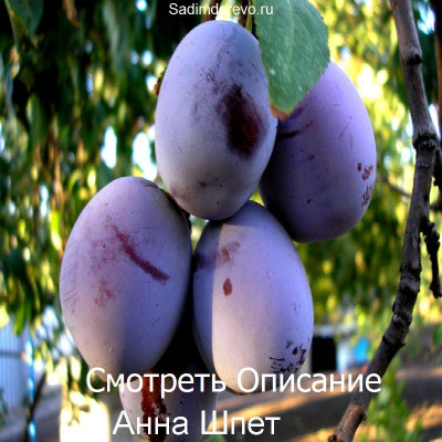 Слива Анна Шпет