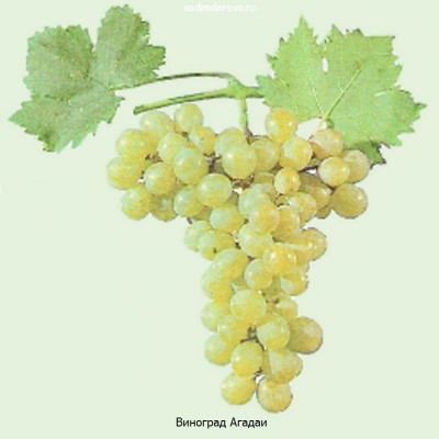 Виноград Агадаи