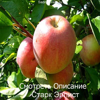 Яблоня Старк Эрлист